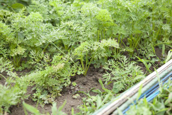 野川さんの調布暮らし,調布,地場野菜